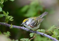 Chestnut-sided Warbler (av8s) Tags: chestnutsidedwarbler warbler birds perchingbirds songbirds nature wildlife nescopeckstatepark pennsylvania pa photography nikon d7100 sigma 120400mm