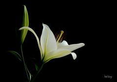 Artful-lily_DSC0730 (Mel Gray) Tags: asianlily lily whiteflower whitelily macro macroflower flowermacro whitefloweronblack