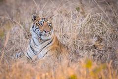 tiger cub (AnilVarma) Tags: tiger cub tigercub animal wildlife nature forest jungle nikon nikkor500mm 500mm d810 tadoba maharastra india