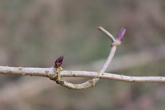 Spring will come (Sven Bonorden) Tags: earlyspring branch ast wald forest vorfrühling makro macro