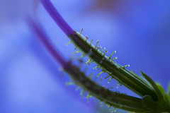 Miniscule (alideniese) Tags: macromondays lessthananinch 7dwf freetheme alideniese macro closeup miniscule nature flora flowers stems plumbago plumbaginaceae botanical bokeh tiny small fronds colour colourful green purple mauve blue calyx trichomes hairs sticky droplets