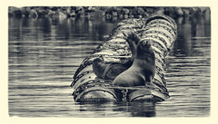 circles and curves (marneejill) Tags: blackandwhite sea lions circles curves marina arty chains float barrels