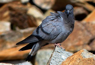Hill pigeon - Tso Kar - Ladakh - Western Himalayas - 4,530m Altitude