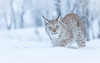She saw me (CecilieSonstebyPhotography) Tags: bokeh portrait eurasianlynx lynx winter endangered closeup cat canon snow norway gaze markiii gaupe young langedrag female eyes animal eartufs january snowflakes nose catfamily canon5dmarkiii specanimal