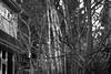 trees, cluster, trunks, lit at sunset, yard, West Asheville, NC, Nikon D3300, mamiya sekor 80mm f-2.8, 3.1.18 (steve aimone) Tags: trees trunks cluster lit sunset backyard architecture westasheville northcarolina nikond3300 mamiyasekor80mmf28 mamiyaprime primelens monochrome monochromatic blackandwhite landscape