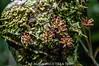2012-07-05 TEC-160343 Zygia peckii - E.P. Mallory (B Mlry) Tags: 6leaflets2pinnate tec bryophyta belize belizezoo compoundleaf fabaceae flora leavesalternate leafstructure mimosoideae mosses tbz tropicaleducationcenter woody zygiapeckii zygiasp adventitiousshoots bipinnatelycompound cauliflorous foliage habit habitat insitu leafletsperpinnuleprimaryleaflet leñoso democracia