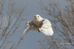 Snow Owl takes flight - sequence - 4 of 9