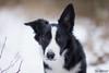 My border collie puppy in snow (adel.oberleitnerova) Tags: caramelka cara ninuland border kolie collie puppy black white canon cute sweet love borderka her eyes nature