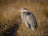 Great (Kevin James54) Tags: nikond850 tamron150600mm wilmington animals ardeaherodias avian bird greatblueheron heron kevingianniniphotocom
