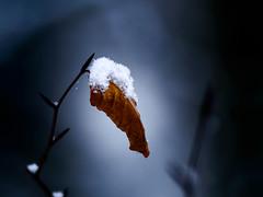 a snowy old leaf (grahamrobb888) Tags: nikon nikond800 d800 nikkor afnikkor80200mm128ed bokeh perthshire birnamwood birnam woods colours contrast snowwoods snow rural winter