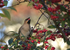 Gulp! (Jaedde & Sis) Tags: silkehale bohemianwaxwing bombycillagarrulus feeding eating berry thirds perched friendlychallenges challengefactorywinner thechallengefactory