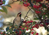 Gulp! (Jaedde & Sis) Tags: silkehale bohemianwaxwing bombycillagarrulus feeding eating berry thirds perched friendlychallenges challengefactorywinner thechallengefactory 15challengeswinner