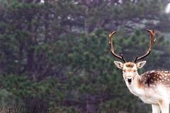 Stag (nicinico) Tags: dunes netherlands nederlandvandaag nederland dune duinen amsterdamsewaterleidingduinen amsterdamse stag deer hert herten animals animal black white blackandwhite color colours colour nature trees tree trunk leafs gewei