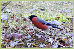 Bouvreuil mâle 180127-00-P (paul.vetter) Tags: oiseau ornithologie ornithology faune animal bird bouvreuilpivoine pyrrhulapyrrhula eurasianbullfinch camachuelocomún domfafe gimpel