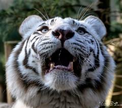 Tigre blanc - Panthera tigris (jenny' pix) Tags: zoo animaux animals carnivores félidés panthera tigris tigre blanc white tiger