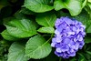 From the shadows to the light (sal tinoco) Tags: hydrangea fantasticflower flower nature flora contrast outdoors floral green