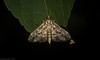 Dysallacta sp. ANIC1 (dustaway) Tags: arthropoda insecta lepidoptera crambidae spilomelinae dysallactaspanic1 australianmoths australianinsects lismore nature northernrivers nsw australia