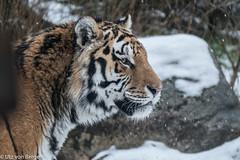 Ein Wintertag im Wildpark Lüneburger Heide (UTZ Bilderstudio) Tags: wildpark lüneburgerheide tiger tigre