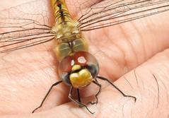 Libélula (Dragon-Fly) (Hélio Paranaíba Filho) Tags: libélula dragonfly odonata anisoptera tiraolhos libelinha lavadeira jacinta nature natureza insetos inseto insect insects bug bugs