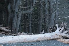 Rialto Beach (Tony Pulokas) Tags: olympicnationalpark olympicpeninsula washington beach rialtobeach tilt blur bokeh forest oldgrowth tree spruce sitkaspruce driftwood