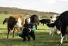 James Osman, Warren farm-2482 (tinshack) Tags: totland agriculturewestwightpeopleandplace isleofwight