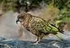 Kea, New Zealand (RaKra42) Tags: neuseeland tiere animal animals bird birds feather feathers newzealand oceania parrot wildlife
