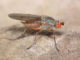 Tephrochlamys rufiventris (female)