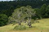 two trees in pigeon grass (dustaway) Tags: trees landscape lismore northernrivers nsw australia 2bid118