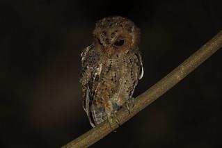 Sunda Scops-Owl