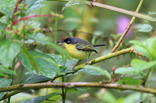 Common Tody- Flycatcher / Todirostre familier / Todirostrum cinereum