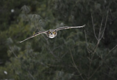 Great Horned Owl (aj4095) Tags: great horned owl nature bird outdoor forest wildlife winter