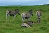 Burchell's (Plains) zebra (Equus quagga burchellii) (R-Gasman) Tags: travel animal burchellszebra plainszebra equusquaggaburchellii talagamereserve southafrica
