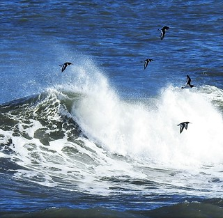 Oystercatchers and Waves - Cresswell Beach