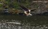 Fish In The Talons (John Kocijanski) Tags: eagle baldeagle bird birdofprey fishing water animal wildlife nature canon70300mmllens canon7d