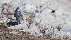 Snowy Owl (TKovener) Tags: snowy owl michigan
