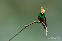 Rufous-crested Coquette (www.NeotropicPhotoTours.com) Tags: rainforestcostaricajuan neotropicalphotography photoworkshop photographytour phototour photoexpedition cr rainforest costa rica juan carlos vindas bird photography cloudforest nobody one animal 2017 neotropical neotropicphototours juancarlosvindas birdphotography birdwatching essenceofpanama tropicalrainforest phototours photoexpeditions fulllength nopeople wildlifephotography tours canongear rufouscrestedcoquette lophornisdelattrei