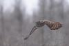 Flying under the radar (jrlarson67) Tags: great gray grey owl strix nebulosa chouette lapone saxzim bog mn minnesota