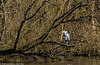 0T4A0614 (2) (Alinbidford) Tags: alancurtis alinbidford brandonmarsh greyheron wildbirds