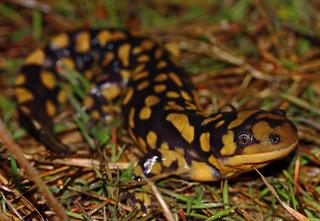 Eastern Tiger Salamander (Ambystoma tigrinum)