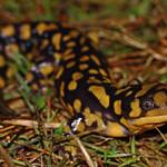 Eastern Tiger Salamander (Ambystoma tigrinum) thumbnail