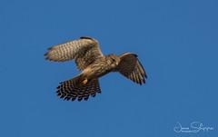 Hovering Kestrel (JDS-photo) Tags: kestrel birdofprey raptor birdinflight bird hover lightroom canoneos80d canonef400mmf56lusm