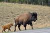 Mother Wood Bison (Bison bison athabascae), on Alaska Highway 97  -  9Selected by GETTY IMAGES) (DESPITE STRAIGHT LINES) Tags: nikon d800 nikond800 nikkor2470mm nikon2470mm nikongp1 paulwilliams despitestraightlines flickr gettyimages getty gettyimagesesp despitestraightlinesatgettyimages alaskahighway liardhotsprings canada britishcolumbia bison bisonandcalf bisonandherbaby americanbison bullwoodbison buffalo bisonbisonathabascae
