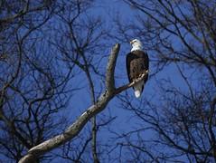 The Eagle Has Landed #6 (Keith Michael NYC (4 Million+ Views)) Tags: mountloretto mountlorettouniquearea statenisland newyorkcity newyork ny nyc baldeagle
