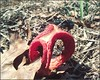 Clathrus Columnatus; commonly known as Column Stinkhorn Mushroom; in the family of Phallaceae; Phallaceae Corda (kennethbaker177) Tags: phallaceae corda stinkhorn clathrus columnatus kenneth baker jacksonville florida fl mushroom