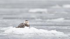 DSC_9270_edit (Hanzy2012) Tags: nikon d500 afsnikkor500mmf4difedii toronto ontario canada lesliestreetspit tommythompsonpark wildlife bird owl snowyowl buboscandiacus