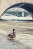 Is That All ? (sdupimages) Tags: paris bird canards ducks seine street rue flood crue winter hiver fleuve river quai city ville