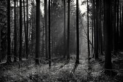 Wald monochrom (Helmut Reichelt) Tags: bw sw sonnenstrahlen dunst morgen sonne winter januar schwaigwall geretsried bayern bavaria deutschland germany leica leicam typ240 captureone11 silverefexpro2 leicasummilux50mmf14asph