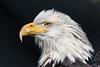Bald Eagle (Marc McDermott) Tags: bald eagle bird avian animal mountsberg raptor centre ontaio canada