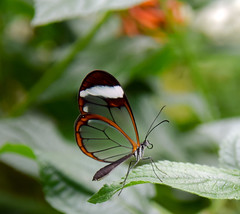 sheer beauty (10000 wishes) Tags: butterfly glasswing seethrough transparent wings beautiful naturephotography insect garden