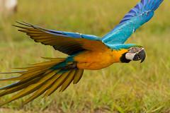 Just passing through (sharptrack2) Tags: featheredfriendsanimalproductions macaw birdsinflight parrot blackcockatoo canoncollective canonaustralia
